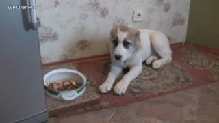 #3 Как научить щенка алабая по команде отдавать лакомство