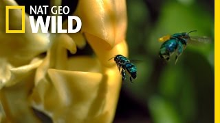 An Orchid's Trap | Wings Of Life