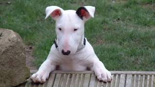 This Video Previously Contained A Copyrighted Audio Track. Due To A Claim By A Copyright Holder, The Audio Track Has Been Muted.     Rescued Bull Terriers