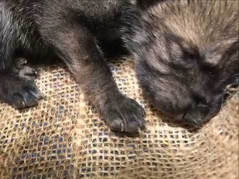 9 Day Old Mexican Gray Wolf Pups
