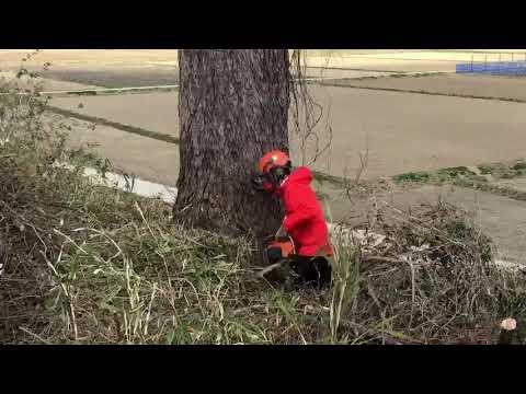 唐松の伐採作業