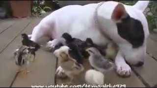 Bull Terrier Adopta Y Cuida Sus Propios Pollos Como Mascotas