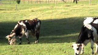 Vaches de Dordogne .wmv