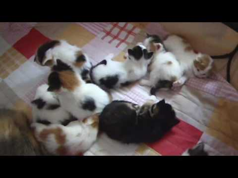 Daily Dose of Cuteness: Pite & the 10 | Norwegian Forest Cat Kittens
