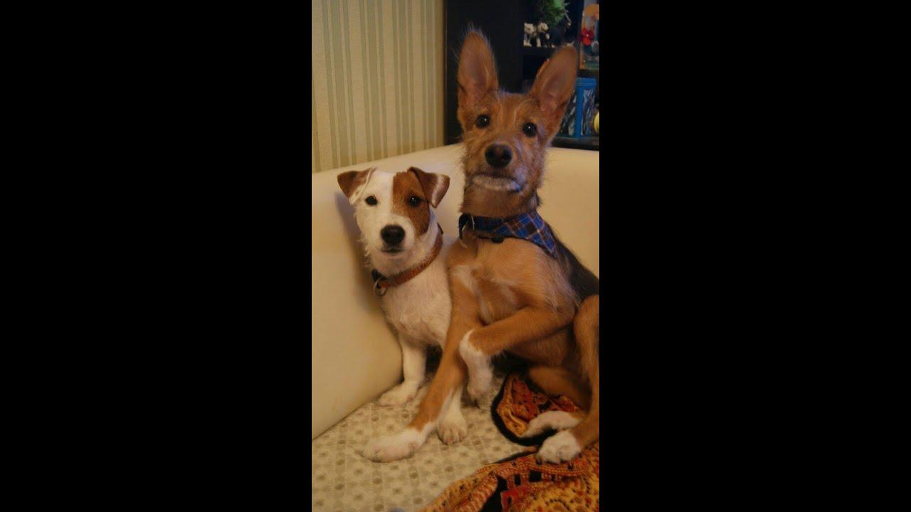 Джек-рассел-терьер (англ. Jack russell terrier) — охотничья порода собак. Часто этот терьер «работает» с другими охотничьими собаками — залезая в норы, он выгоняет лисиц. Родина: англия. Распространение: австралия. Первое использование: норный охотник, крысолов. Характер: бодрый, подвижный.