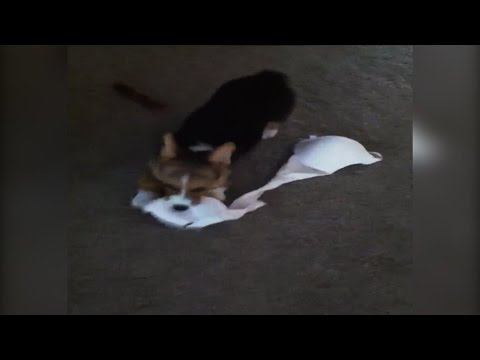 Corgi Puppy Steals Mom's New Bra