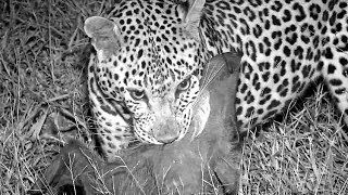 SafariLive - The hunting skills of male leopard Hukumuri!