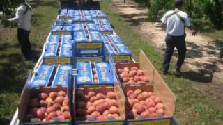 Picking Peaches In Georgia