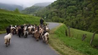 Départ des Biquettes d'Asque dans les Baronnies Hautes Pyrénées