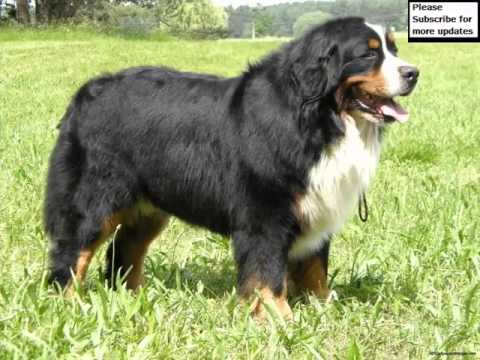 Kennel Club Bernese Mountain Dog Puppies