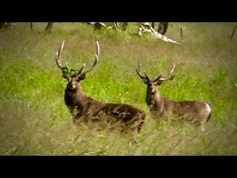 Hunting Rusa deer in New Caledonia part 3