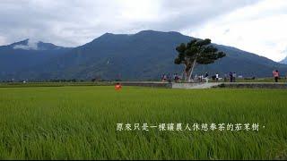 台東奉茶樹搶救全紀錄