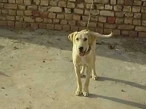 pointer dog(adeel khalid)ranyail rawalpindi