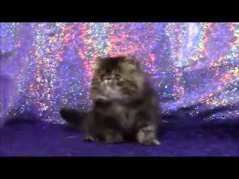 Brown Patch Tabby Persian female kitten