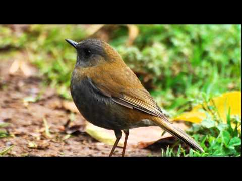 Birdsong, Nightingales Song, Nature Sounds