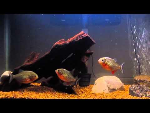 Piranhas Feeding On Goldfish