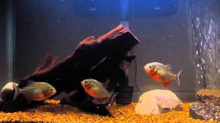 Piranhas feeding on goldfish