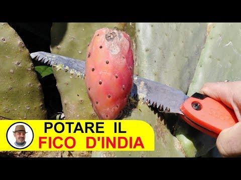 POTARE IL FICO D'INDIA