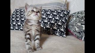 Скотиш страйт котенок девочка Новосибирск продается