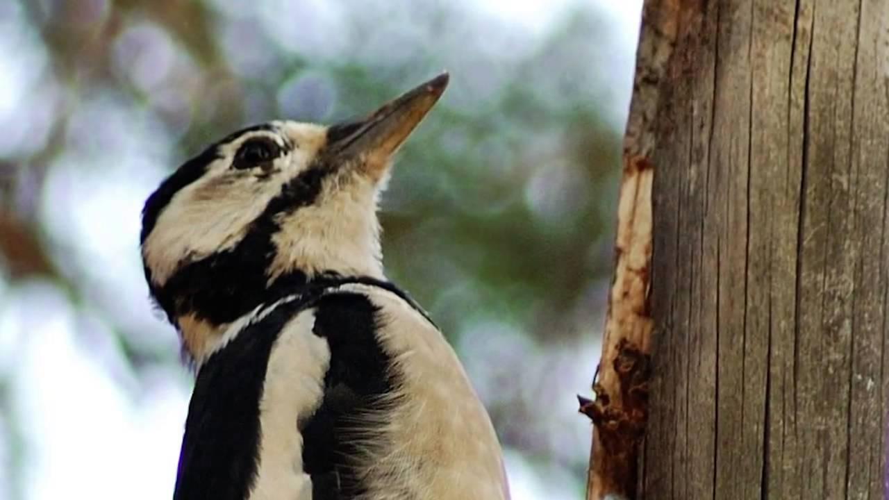Звуки птиц дятел скачать