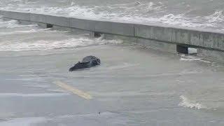 Alligator Spotted On Flooded Street
