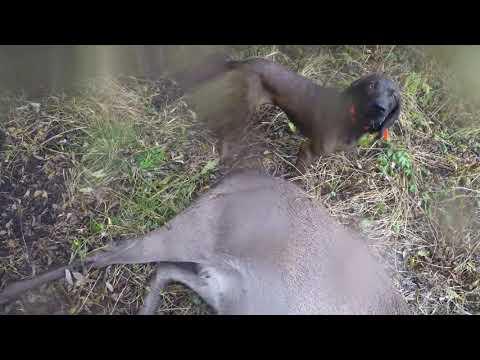Подранок. Работа собак по поиску самки оленя.
