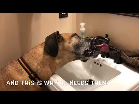 180 lb Fawn Great Dane Drinking water from the bathroom sink Funny Large Dog