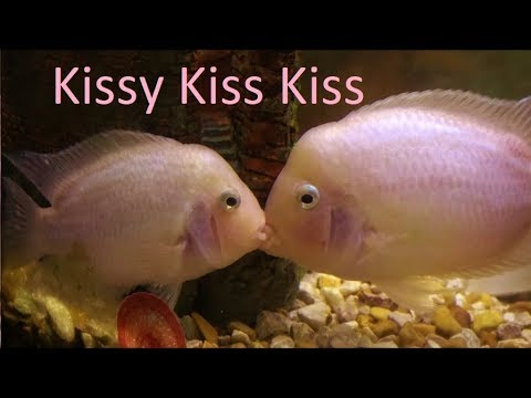 Pink Kissing Fish Smooching