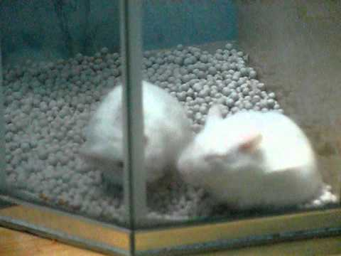 Hamster giao phối.AVI
