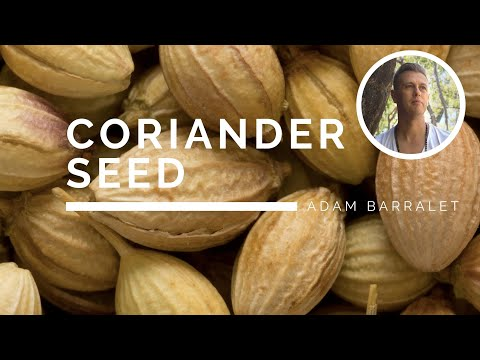 coriander---the-oil-of-the-impeccable-integrity
