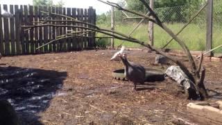 Животные в хозяйстве/Цесарки