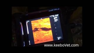 Veterinarian Diagnoses Cow 31 Days Pregnant with RKU-10 Ultrasound