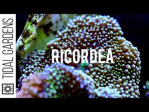 Ricordea florida vs Ricordea yuma