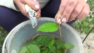 Зелёное черенкование. Green cuttings.(С помощью зелёного черенкования, можно быстро размножить многие растения. Так как черенкование является..., 2014-07-11T20:19:39.000Z)