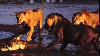戦い 3 雌ライオン そして ワニ 食物連鎖の頂点に立つもの同士の戦いで...