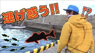 数万匹のアジの群れを襲う軍艦シーバスを釣り上げる!!