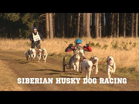 British Siberian Husky Dog Racing Championships 2018