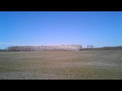 Snow Geese Salem County NJ Bald Eagle was overhead