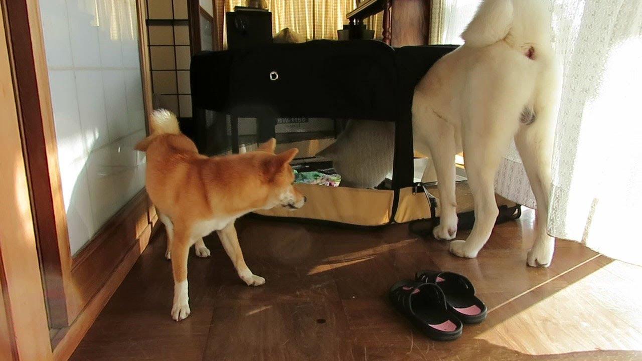 【秋田犬ゆうき】お呼ばれされた訳では無い女の子の部屋へ遊びに行き物色する【akita dog】