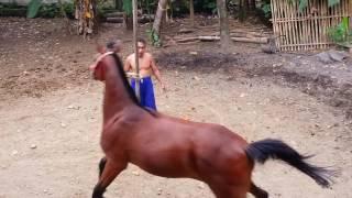 Melatih kuda balap
