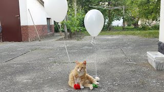 Cats Reaction to Helium Balloons