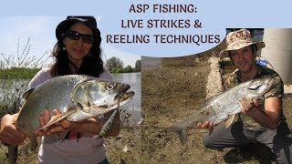 ASP FISHING: Live Strikes & Reeling Technique/ Распери на Марица/ Rapfen Angeln, Live Bisse