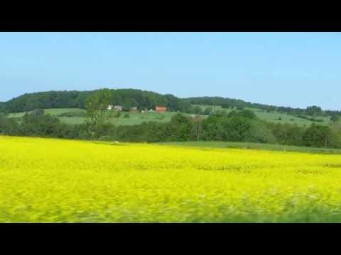 Field of rapeseeds seen from a car