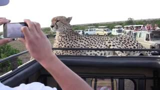 Cheetah on jeep, face to face, Masai Mara, Kenya