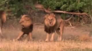 Два брата (История двух львов)