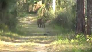 Florida Panther (Puma concolor) in Collier Seminole State Park