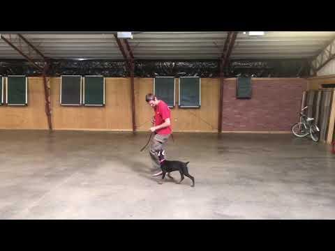 "Doberman Puppy Female ""Wynie"" 14 Wks Obedience/Protection Trained Dog For Sale"