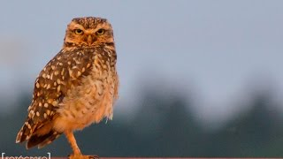 Lechucita Vizcachera   Observando aves   Oberá Mnes [HD] 1080p