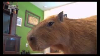 Капибара - Экзотическое домашнее животное