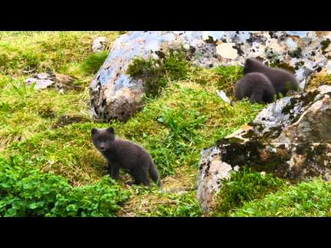 Better protection of Iceland's arctic fox